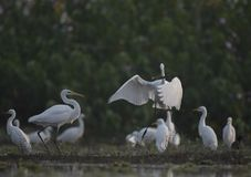 The Great Egret with big Fish. In the morning royalty free stock photo