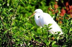 Great egret bird in breeding plumage in Florida Stock Images