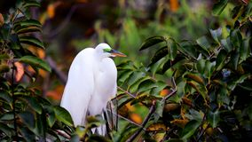 Great egret bird in breeding plumage in nest, Florida Stock Images