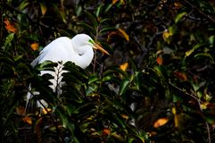 Great egret bird in breeding plumage in nest, Florida Stock Photo
