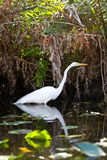 Great Egret Bird in the Everglades Royalty Free Stock Photos