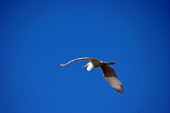Great Egret bird in flight Royalty Free Stock Images