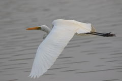Great egret. Bird flying above the river of water surface.  very natural view Stock Photography