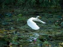 Great egret bird flying on lake reflection in water. Great egret bird flying on a pink lotus lake in India. White Bird flying and reflection in lake water stock photo