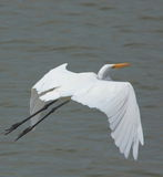 Great egret bird. Flying over the water of river. very beautiful and natural view stock photography