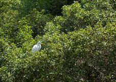 Great Egret bird in Green Trees Royalty Free Stock Photo