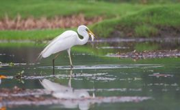 Great egret bird hunting of fish. In water of pond. fish is caught in beak. very natural and lovely view stock image