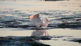 Great Egret Bird Hunting in Tide Pools Catches Fish Stock Photos