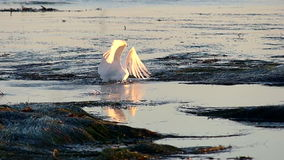 Great Egret Bird Hunting in Tide Pools Catches Fish stock footage