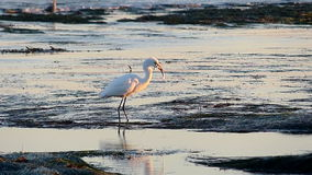 Great Egret Bird Hunting in Tide Pools Has Fish Stolen stock video footage