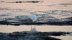 Great Egret Bird Hunting in Tide Pools stock video footage