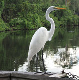 Great egret bird in jungle Royalty Free Stock Photography