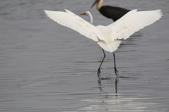 Great egret bird. Landing in water of river. wings open. very beautiful and natural view. bird white colour are looking so beautiful Royalty Free Stock Photos