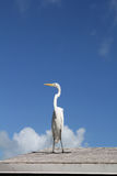 The great egret bird Royalty Free Stock Photo