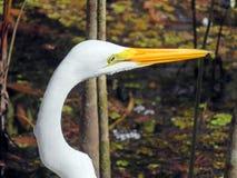 Great egret bird Stock Photos