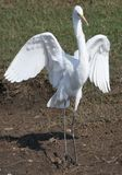 Great egret bird Royalty Free Stock Images