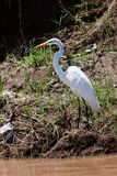 Great egret bird standing near the water Royalty Free Stock Images