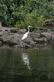 Great egret bird standing on the rock Stock Photos