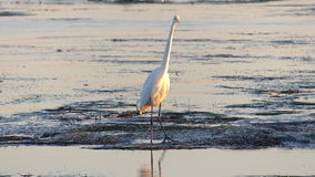 Great Egret Bird Standing in Tide Pools Stock Photos