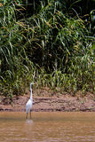 Great egret bird standing in the water Stock Photo