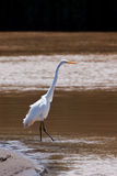 Great egret bird standing in the water Stock Photography