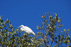 Great Egret bird in tree Royalty Free Stock Photography
