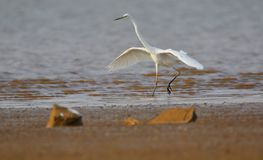 Great egret bird walking. In bank of river for searching food. natural view stock photography