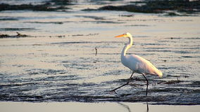Great Egret Bird Walking in Tide Pools Royalty Free Stock Image