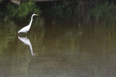 Great egret bird walking on water Royalty Free Stock Photography