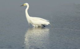 Great egret. Bird walking in water of lake. very natural and beautiful view Royalty Free Stock Photography