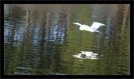 Great Egret Flies Over Lake with Reflection. Great egret bird with white feathers and black legs and feet outstretched in flight over lake or pond with Stock Images
