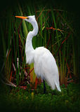 Great Egret Bird (White Heron). A Great Egret Bird or White Heron Standing in a pond full of tall grass royalty free stock photography