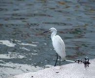 Great Egret Bird Stock Images