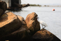 Great egret, birdwatching Royalty Free Stock Photography