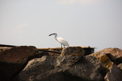 Great egret, birdwatching Stock Images