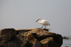 Great egret, birdwatching Royalty Free Stock Images
