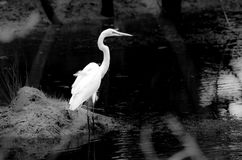 Great Egret Black and White. Solitary Great Egret in black and white fishing on a pond in rural Georgia Stock Photography