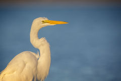 Great egret on blue Stock Photo