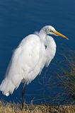 Great Egret on Blue Water Stock Photo