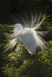 Great egret boldly displaying breeding plumage in a Florida rook Stock Photo