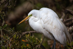 Great Egret in breeding colors Royalty Free Stock Image