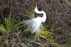 Great Egret Breeding Display Stock Images