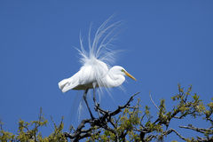Great Egret in breeding plumage Stock Image