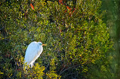 Great Egret in Breeding Plumage Stock Photos