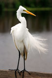 Great egret with breeding plumage Stock Photos