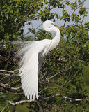 Great Egret in Breeding Plumage Royalty Free Stock Photography