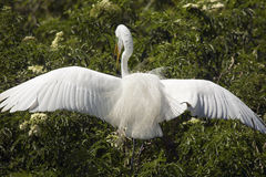 Great egret with breeding plumage landing in a shrub, Florida. Stock Photos