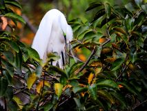 Great egret in breeding plumage in nest, Florida Royalty Free Stock Images