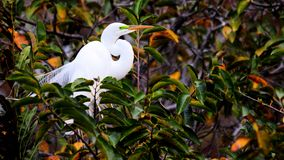 Great egret in breeding plumage in nest in Florida Stock Photos