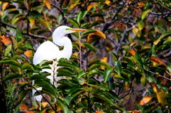 Great egret in breeding plumage in nest in Florida Royalty Free Stock Photos
